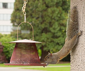 Sciurus carolinensis English: An eastern gray ...