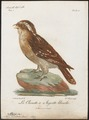 Scops cristatus - 1796-1808 - Print - Iconographia Zoologica - Special Collections University of Amsterdam - UBA01 IZ18400139.tif