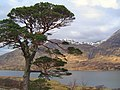 Scots Pine above Loch Affric - geograph.org.uk - 864786.jpg