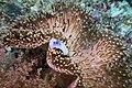 Sea slug on anemone; November 2014.jpg
