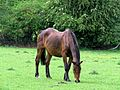 Seal brown horse in Hatfield Broad Oak Essex England 01.jpg