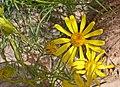 Senecio flaccidus 2.jpg