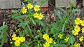 Senecio squalidus (Oxford Ragwort) - detail of flowers at Slateford Station, Edinburgh.jpg
