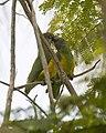 Senegal Parrot -montage1.jpg