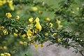 Senna polyphylla 37zz.jpg