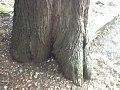 Sequoie3.jpg