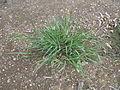 Setaria parviflora plant3 (14391626073).jpg