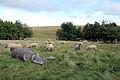 Sheep (1429116708).jpg