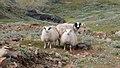 Sheep (6140878587).jpg
