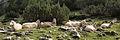 Sheeps in Austria 2.jpg