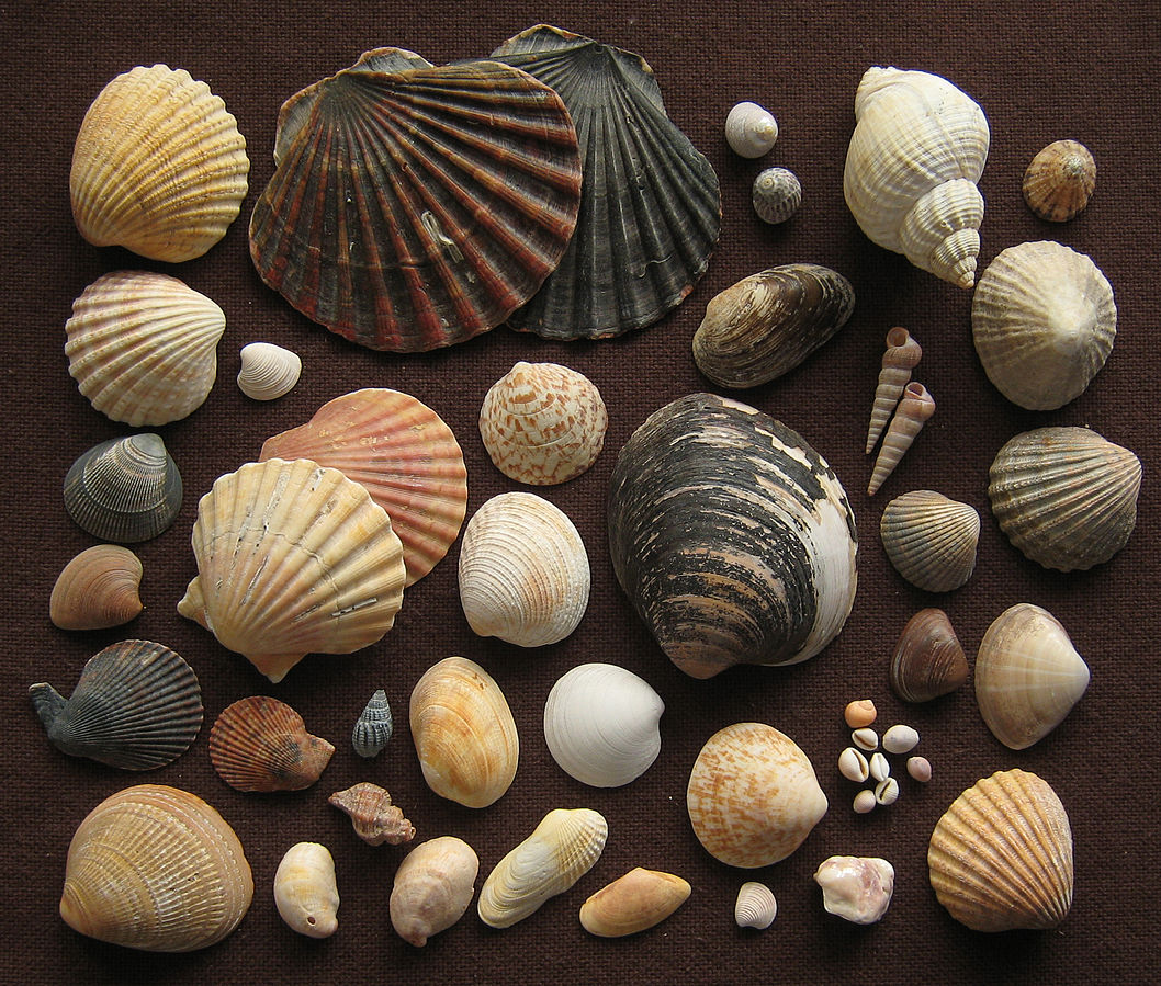 Common names of shells with pictures Topseashells - Official Site