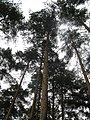 Sheremetyevo forest. The pines, view from below. July 2010. - Шереметьевский лес. Сосны, вид снизу. Июль 2010. - panoramio.jpg
