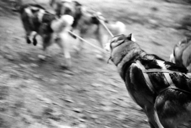 Archivo:Siberian Huskies, Dogsled racing.jpg