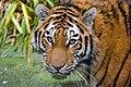 Siberian Tiger (38315188295).jpg