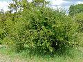 Sicklebush (Dichrostachys cinerea) (11530317565).jpg