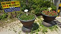 Sign, Dianthus chinensis and Begonia evansiana Andrews of Jeonju Mun Hak Elementary School.jpg