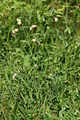 Silene vulgaris ssp. vulgaris PID1372-4.jpg