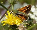 Silver-spotted Skipper, male. Hesperia comma - Flickr - gailhampshire (4).jpg