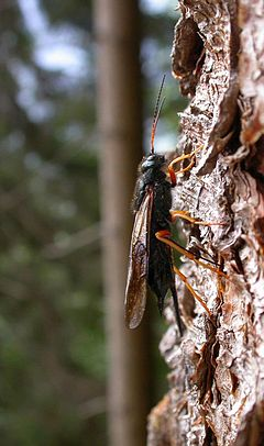 240px sirex juvencus female