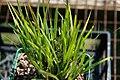 Sisyrinchium montanum Mrs. Spivey 1zz.jpg