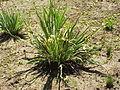Sisyrinchium striatum2.jpg
