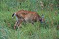 Sitka Deer, Haida Gwaii.jpg