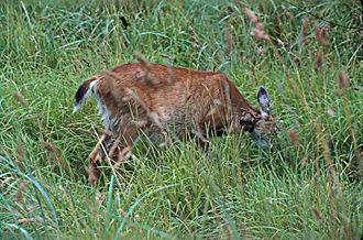 Sitka deer - Doe feeding at Gwaii Haanas National Park