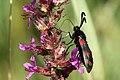 Six-spot burnet moth (Zygaena filipendulae) young adult.JPG