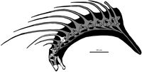 Skeletal diagram of Bajadasaurus