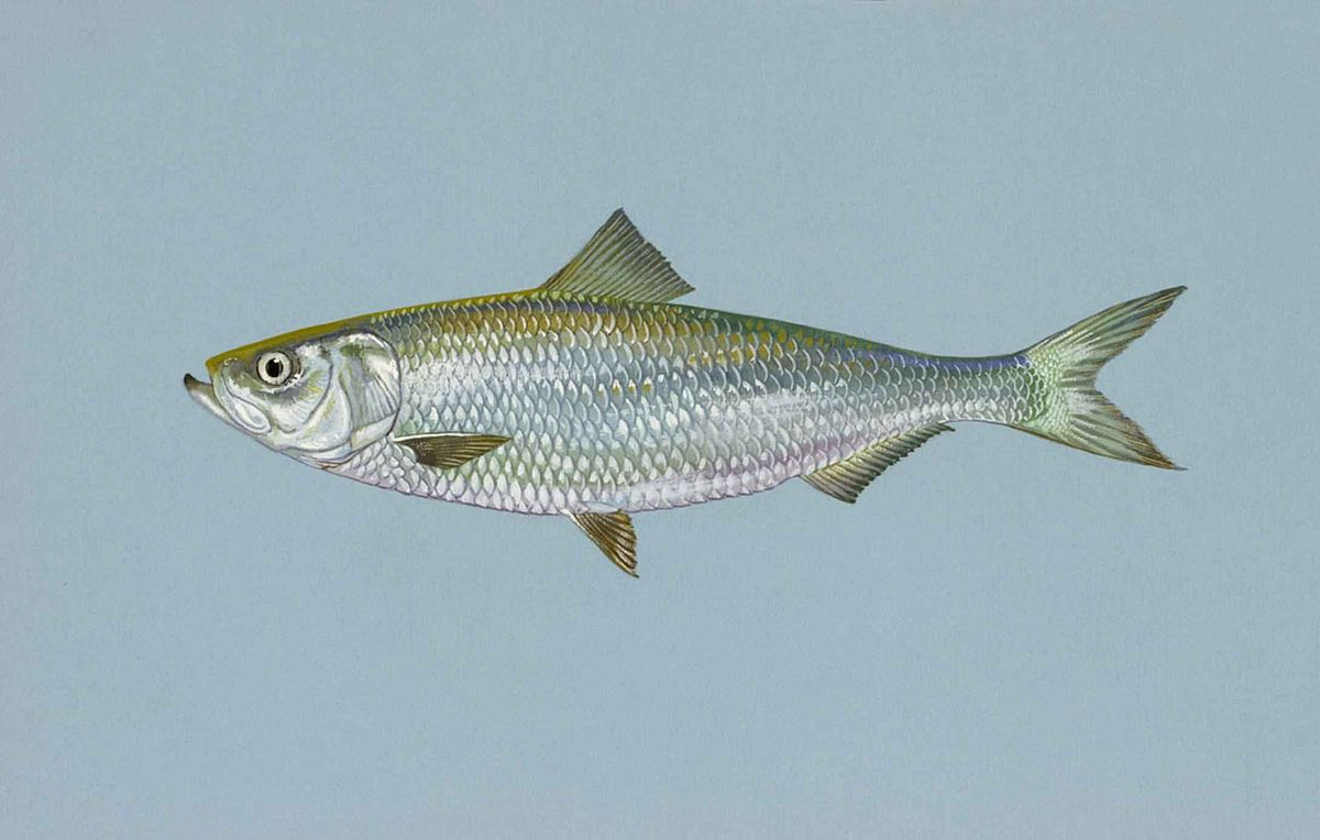 Skip jack (Herring) is the best catfish bait. - YouTube  Skipjack Minnow