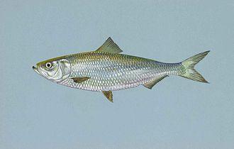 Skipjack shad - Image: Skipjack herring fish alosa chrysochloris