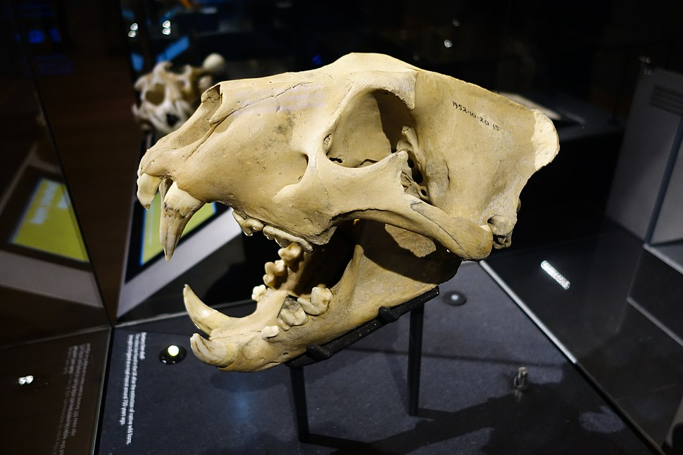 Skull of a Barbary Lion (25297910567)