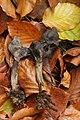 Slate Grey Saddle - Helvella lacunosa (37627448475).jpg