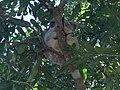 Sleeping koalas - panoramio.jpg