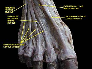 Extensor digitorum longus muscle - Image: Slide 1ABBAA