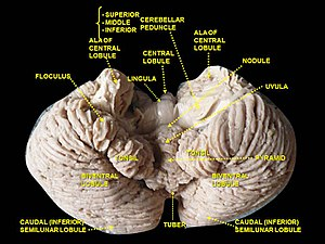 Uvula of cerebellum - Image: Slide 3EER