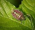 Sloe Shieldbug (49223250071).jpg