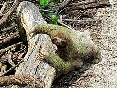 Sloth-Costa rica.jpg