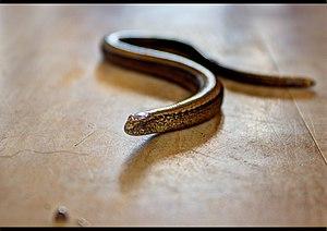 Anguis fragilis - Image: Slow worm close