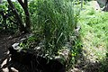 Small-scale constructed wetland planted with Vetiver grass for treatment of greywater from kitchen and washing plats (5051353228).jpg
