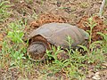 Snapping Turtle (18524248368).jpg