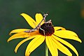 Snoozin on a black-eyed susan (5824275398).jpg