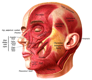 Platysma muscle - The muscles of the face, platysma visible at bottom right.