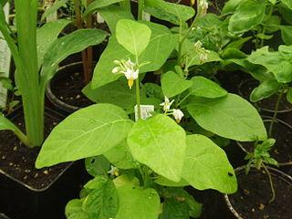 <i>Solanum aethiopicum</i> species of plant