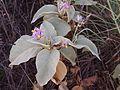Solanum quadriloculatum flowers and foliage.jpg