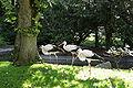 Solingen - Fauna - Ciconia ciconia 01 ies.jpg