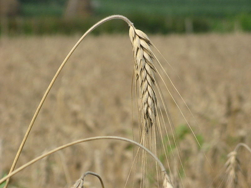 File:Some sort of grains (3697148515).jpg