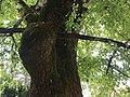 Sommer-Linde 01 Keutschach.jpg