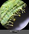 Sonchus arvensis subsp. arvensis sl7.jpg