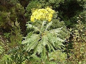 Sonchus palmensis (Barlovento) 04